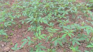 花椒籽怎么种才能发芽
