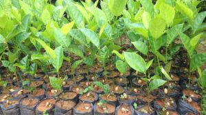 菠萝蜜的核怎么种盆栽