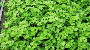 芹菜种子怎么种