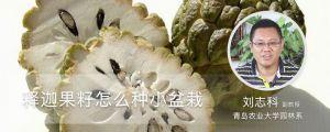释迦果籽怎么种小盆栽