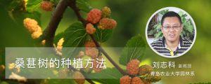 桑葚树的种植方法