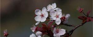 紫叶矮樱与紫叶李的区别