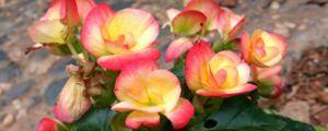 秋海棠什么时候开花