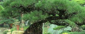 松树盆景怎么养护