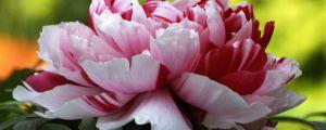牡丹花怎么养护