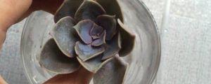 紫珍珠叶子变软的原因及处理办法