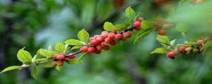榆叶梅的果实能吃吗