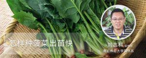 怎样种菠菜出苗快