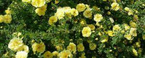 黄刺玫的种子怎么种
