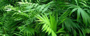 袖珍椰子的叶子干枯怎么办