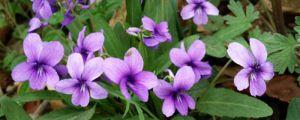 紫花地丁种子怎么种