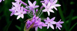 紫娇花种子怎么种