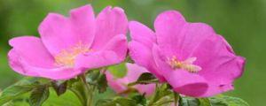 多花野牡丹种子怎么种