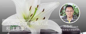 香水百合的养殖方法和注意事项