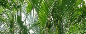 凤尾竹可以养在卧室吗