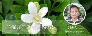 盆栽九里香的养殖方法