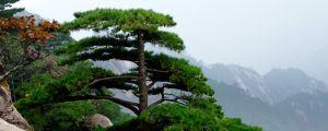 松树盆景的风水作用