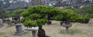 松树盆景的常见种类