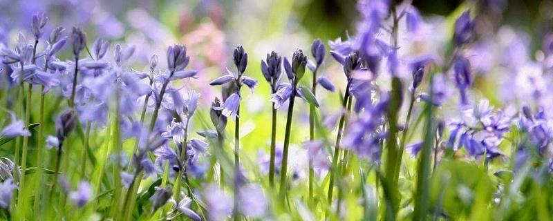 蓝铃花的花语及象征意义