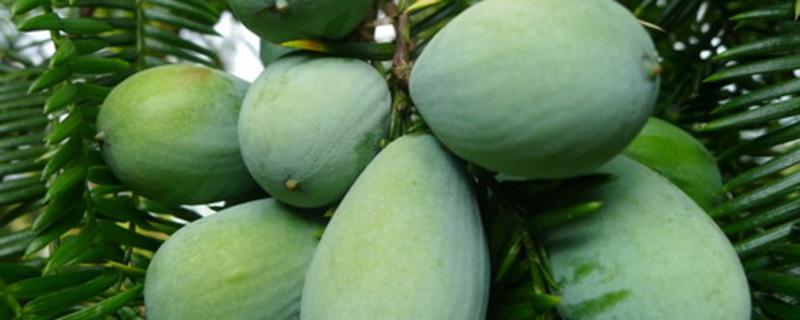 香榧与红豆杉的区别