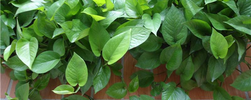 观叶植物怎么修剪?