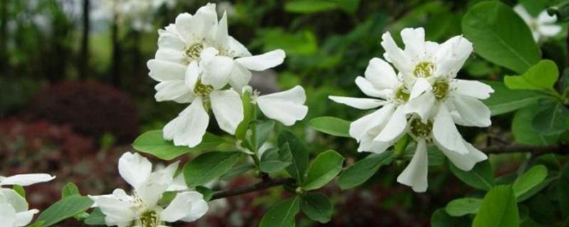 白鹃梅的病虫害防治