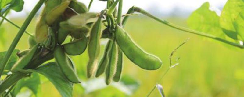 阳台怎么盆栽毛豆?