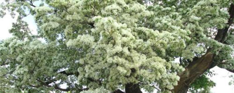 流苏树的花语和植物文化