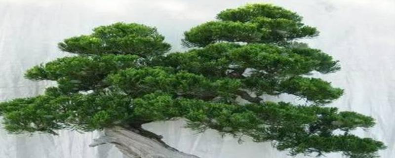 龙柏盆景的养护造型