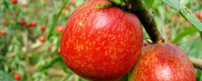 盆栽油桃怎么种