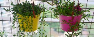 紫玄月的养殖方法和注意事项