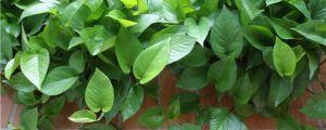 观叶植物如何施肥?