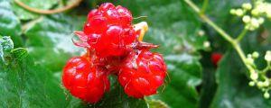 刺莓的养殖方法和注意事项