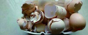 鸡蛋壳可以做花肥吗,哪些花可以用鸡蛋壳