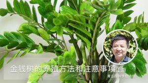 金钱树的养殖方法和注意事项