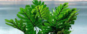 春芋和龟背竹的区别