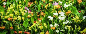 彩色马蹄莲的养殖方法和注意事项