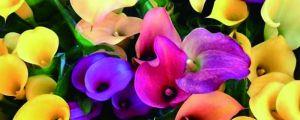 彩色马蹄莲什么时候种植,土怎么配