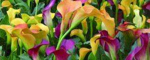 彩色马蹄莲能养几年,喜欢阳光吗