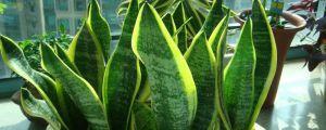 适合放客厅的大盆绿植