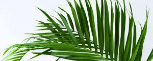 散尾葵怎么用于插花,插花怎么修剪