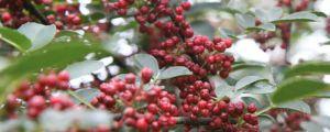 花椒树苗什么时候种植(季节、行距、一亩多少颗?)