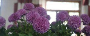 乒乓菊的盆栽养殖方法