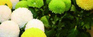 乒乓菊一年开几次,花期是几月