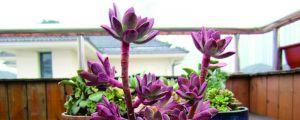 多肉红稚莲的养殖方法