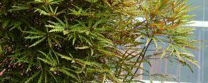孔雀木的养殖方法和注意事项