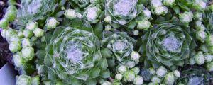 蛛丝卷绢养殖方法和注意事项