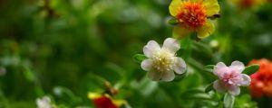 太阳花的花语和寓意
