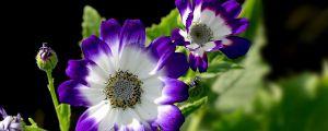 瓜叶菊冬季怎么养护