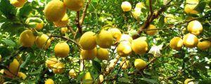 怎么让柠檬多开花结果